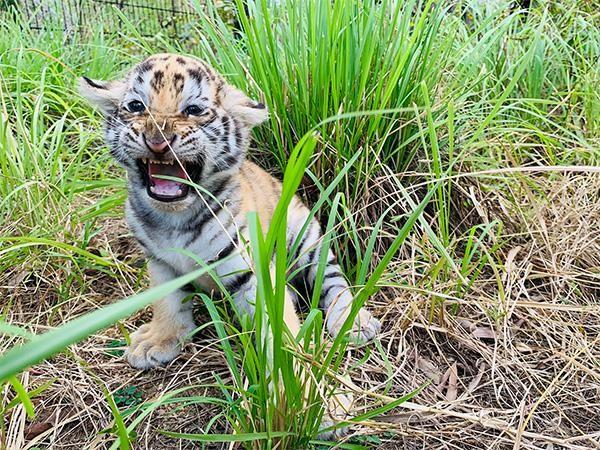 """""""Dân mạng"""" phấn khích với chú hổ Bengal đáng yêu """"hết nấc"""" tại FLC Zoo Safari Park Quy Nhon ảnh 7"""