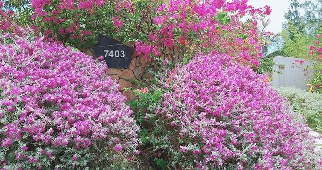 Giáng hương, tuyết sơn phi hồng và những mùa hoa đẹp ngây ngất tại chuỗi quần thể FLC ảnh 7