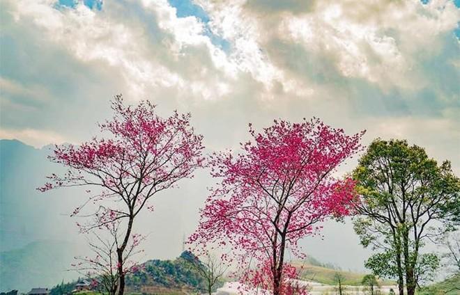 Cận cảnh anh đào Himalaya hoang dã đẹp mê mẩn ở Sun World Fansipan Legend ảnh 2