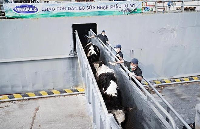 Vinamilk nhập khẩu hơn 2.100 bò sữa HF thuần chủng từ Mỹ về trang trại mới tại Quảng Ngãi ảnh 2