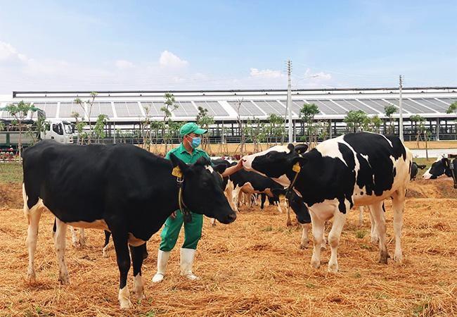 Vinamilk nhập khẩu hơn 2.100 bò sữa HF thuần chủng từ Mỹ về trang trại mới tại Quảng Ngãi ảnh 5
