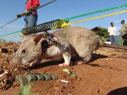 Cảnh sát Colombia đào tạo chiến sĩ chuột rà phá bom mìn ảnh 1