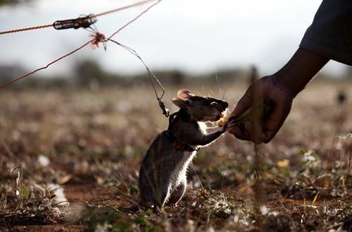 Cảnh sát Colombia đào tạo chiến sĩ chuột rà phá bom mìn ảnh 2
