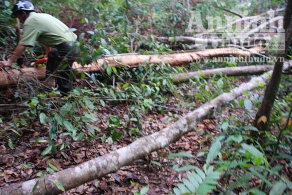 Hàng chục hécta rừng bị chặt phá ảnh 1