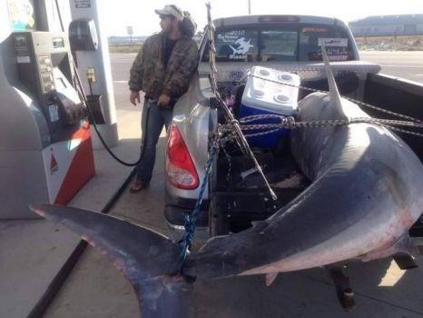 Bắt được cá mập khổng lồ nặng gần 400kg ảnh 1