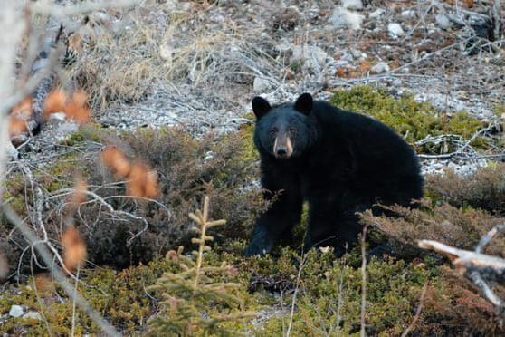 Ở trong rừng, người phụ nữ bị gấu đen giết chết ảnh 1